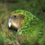 kakapo2 150x150 Kakapo Population in Neuseeland wird dreistellig