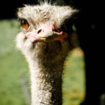 owkatraz emu 3 150x150 Owlcatraz Native Bird and Wildlife Park – Eulen in Neuseeland