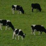 kuehe in neuseeland 150x150 Neuseeland sucht Milchfarmer