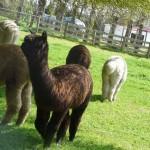 alpaca in neuseeland 150x150 Von wegen nur Schafe
