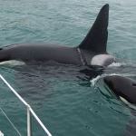 bild 17 150x150 Spielende Orcas